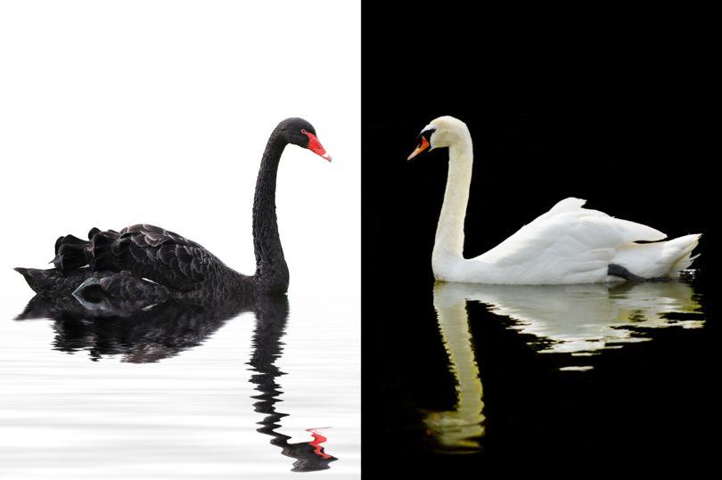 Черный и белый лебеди