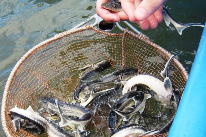 выпуск рыбы в водоем