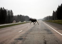 В Ленобласти могут появиться дорожные переходы для диких животных